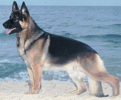 German Shepherd Most Dangerous Dogs