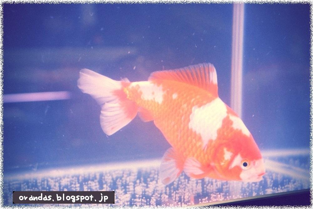 産卵してしまった金魚の画像です。