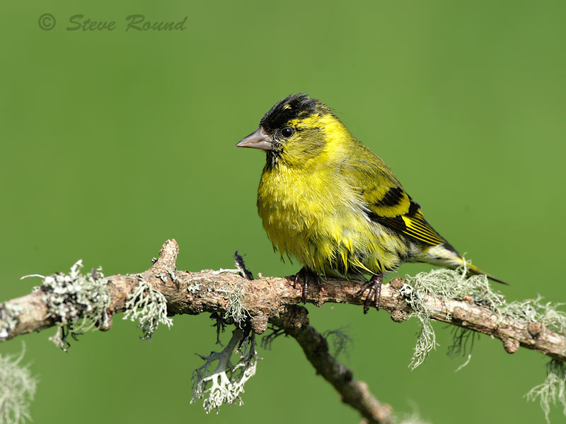 siskin, bird, nature, wildlife
