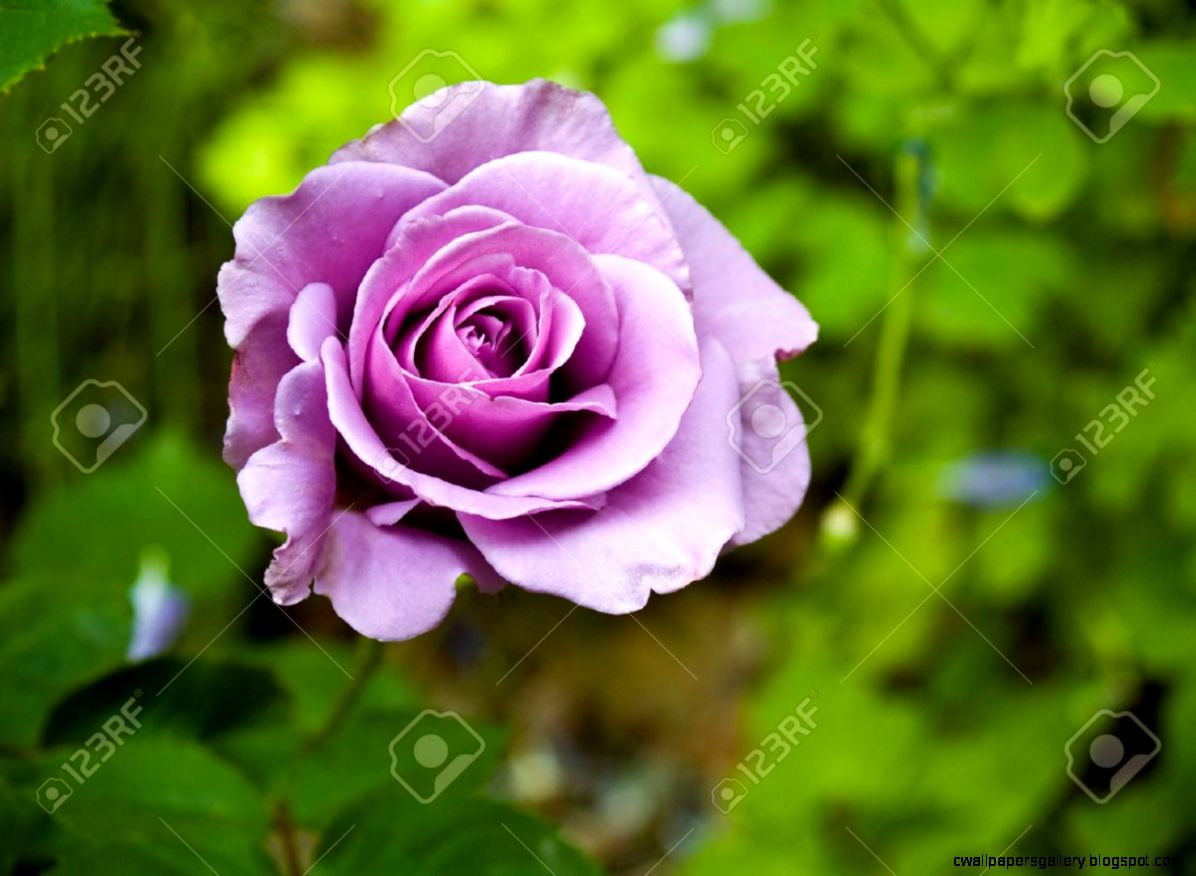 Purple Rose Blooming In A Garden Setting Stock Photo Picture And