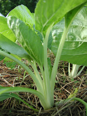 young pak choi