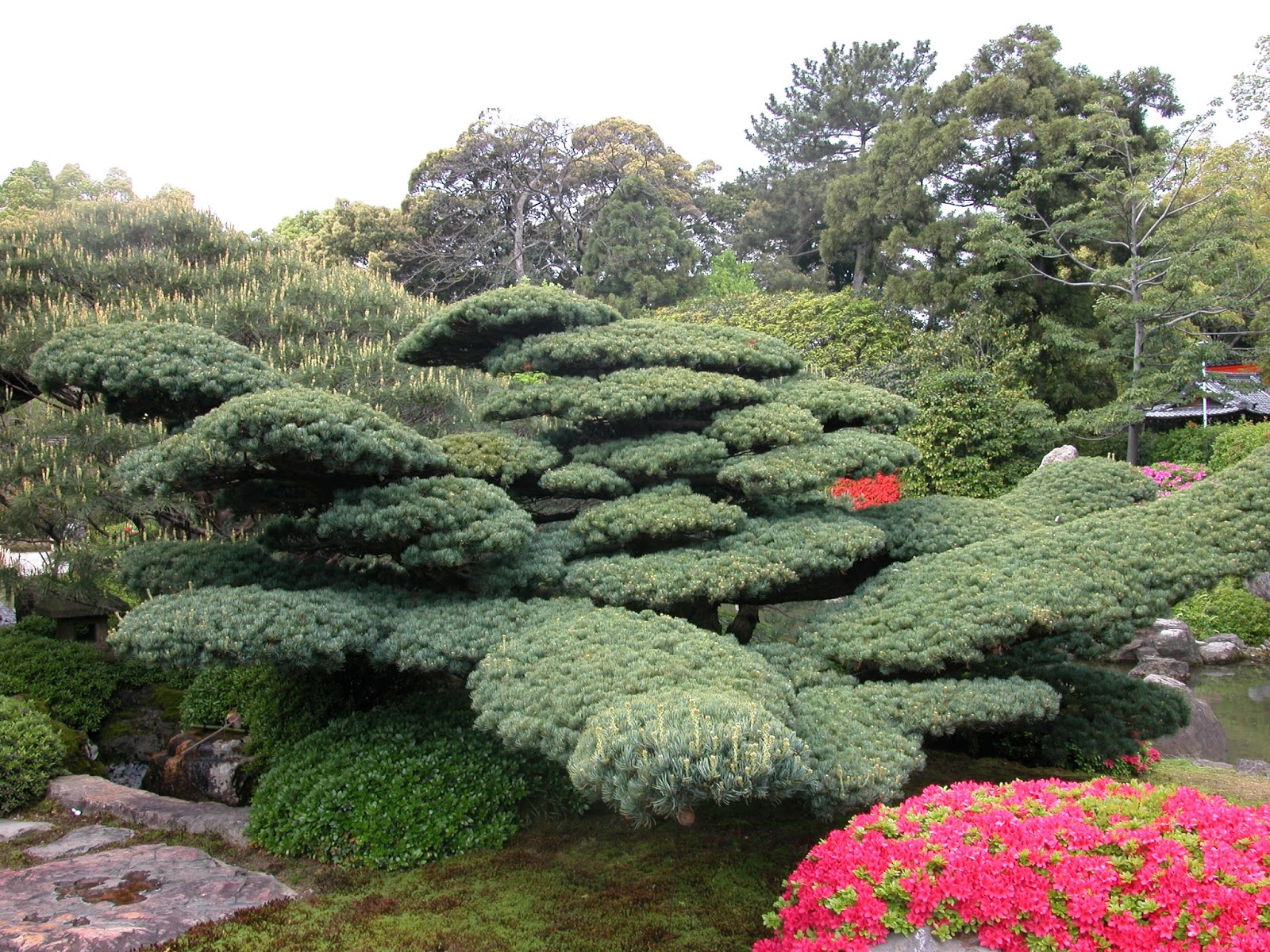 Robert Ketchell39s Blog Pines In The Japanese Garden