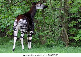hewan langka, hewan punah, Okapi