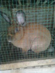 kelinci-18