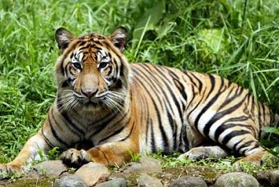 Harimau Sumatera Terancam Punah