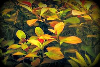 [Imagen: Ludwigia+Repens.jpg]
