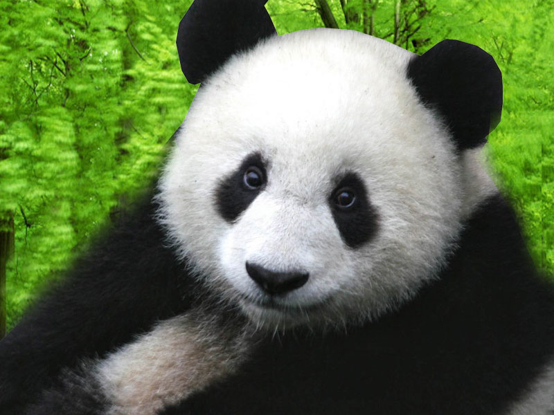 background wallpaper panda - photo #33