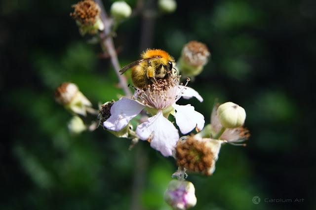 abejorro-fotografia-carolum-art
