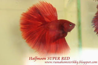 Betta Super Red, Cupang Super Red, CUpang Jambi, CUpang Indonesia