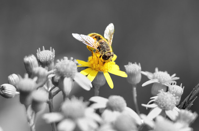 Honey Bee on Flower Black and white with Color Picture