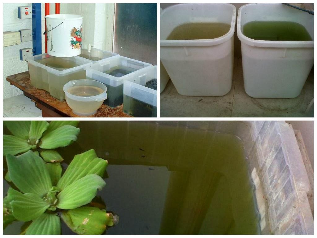 wada kultur daphnia