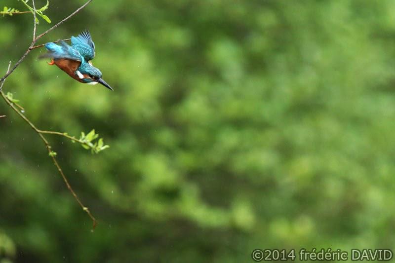 nature oiseau martin pêcheur Sorques Seine-et-Marne
