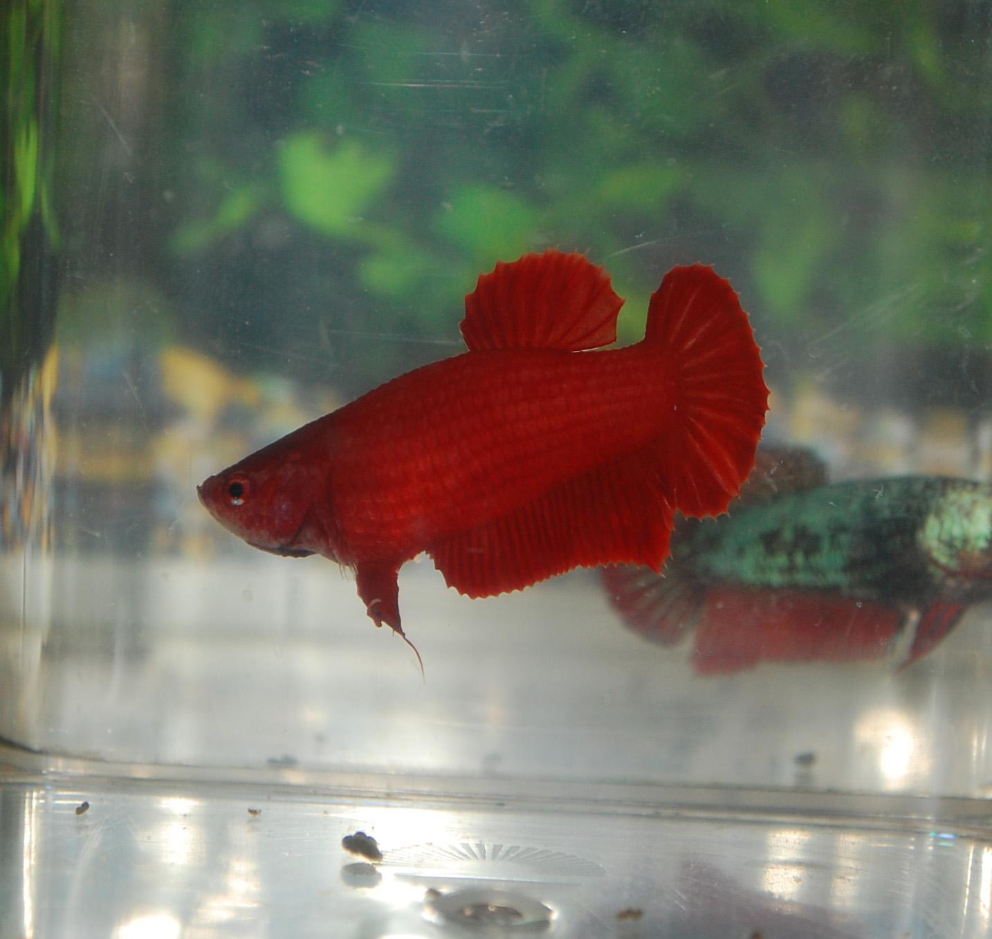 Betta fish afira betta hmpk super red sold out for Red betta fish