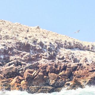 lobos de mar de las inslas ballestas
