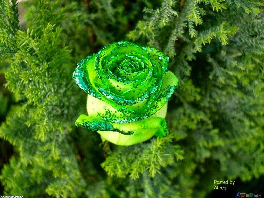 hình nền hoa hồng xanh đẹp nhất