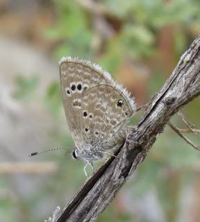Echinargus isola, Reakirt's Blue
