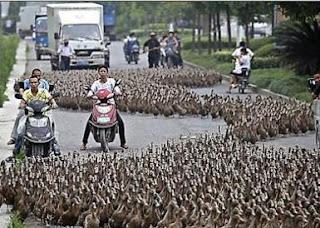 5000 Bebek Macetkan Jalan