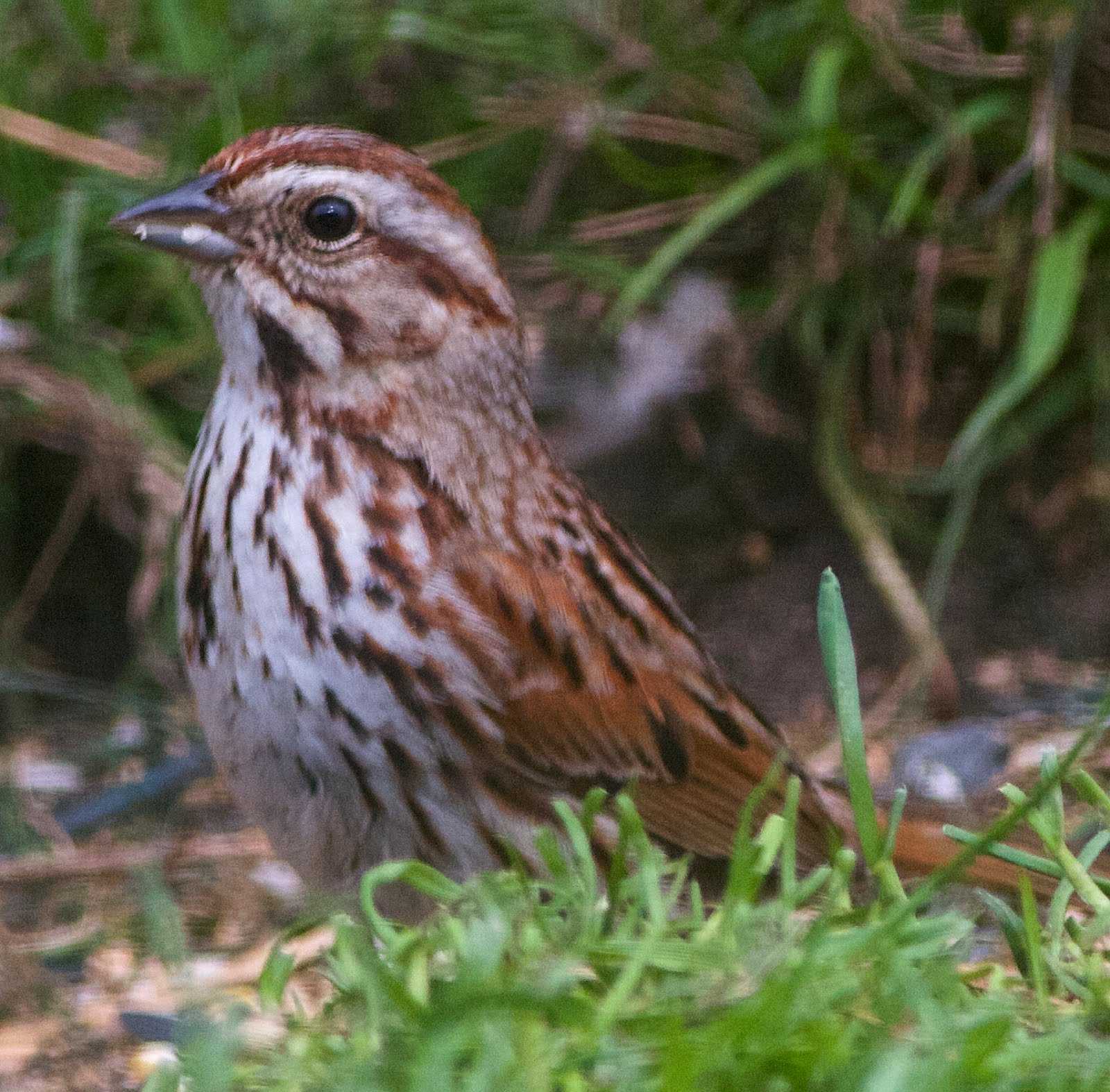 SONG SPARROW-FAIR ISLE-SHETLAND-SCOTLAND-17TH MAY 2018