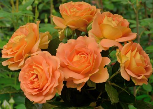 Goldelse rose сорт розы фото