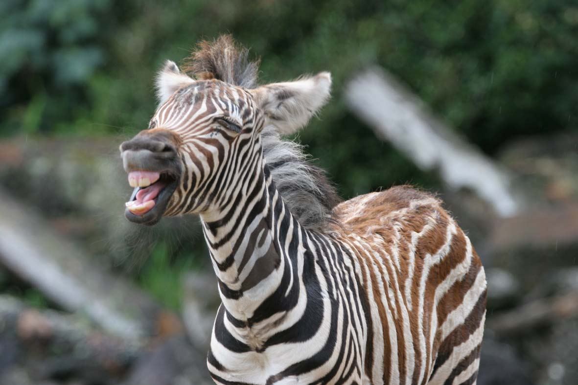 Zebra Facts For Kids | Zebra Diet, Habitat, Behavior, and Characteristics