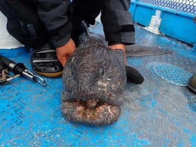 Pescador japonês encontra peixe gigante que teria sido afetado pelo desastre de Fukushima