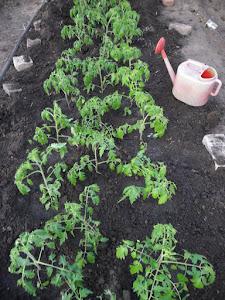 Рассада помидоров подмерзла. Что делать?