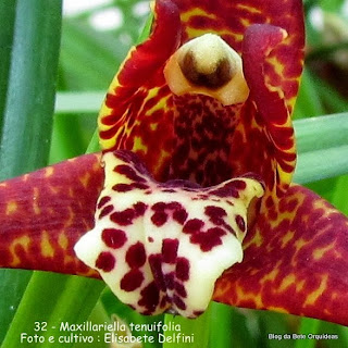 Maxillaria tenuifolia, Maxillaria gracilifolia