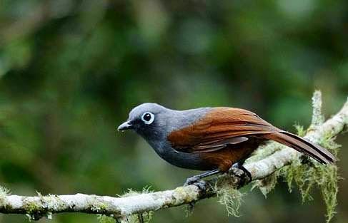 Foto Burung Poksay Terbaik