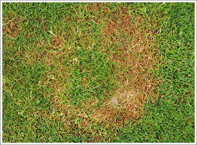 take-all patch on a lawn