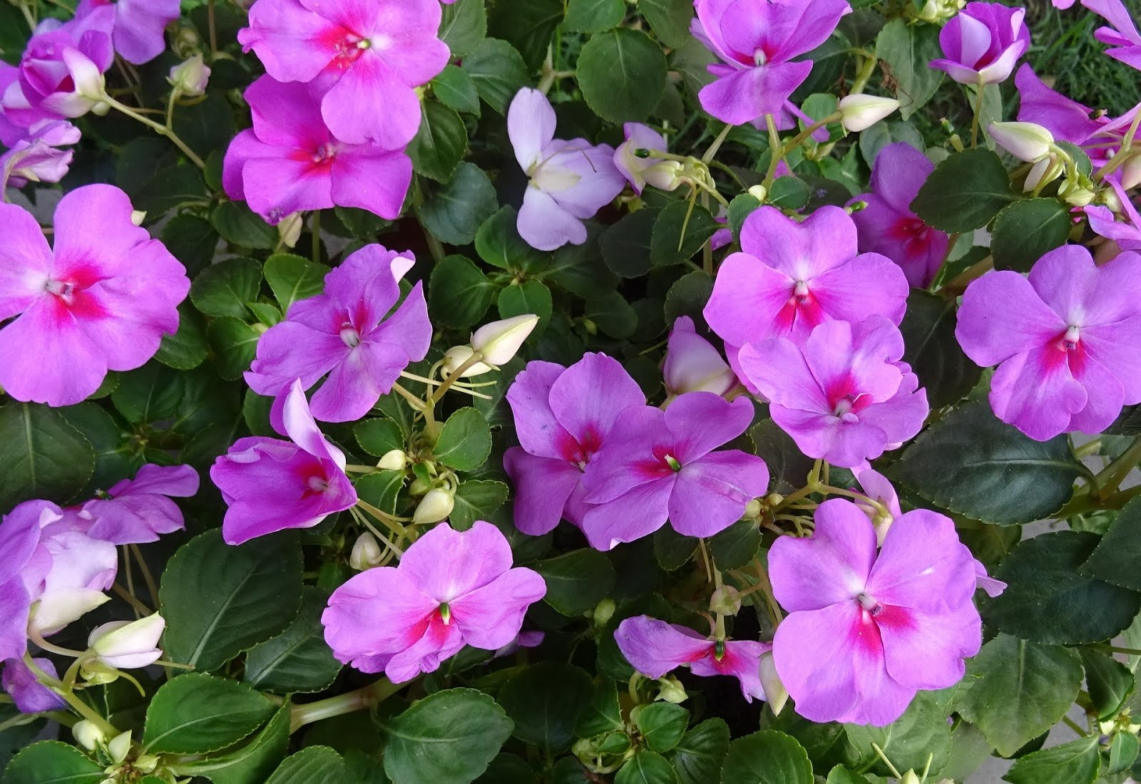 Star nursery blog get the flower garden of your dreams fernlike plant with large bright daisy like flowers in shades of pink purple white or lavender it frequently reaches 3 feet in height and makes a izmirmasajfo Image collections