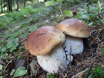 Orawa, Lipnica Wielka, Babia Góra, grzyby sierpniowe, grzybobranie w sierpniu, grzybobranie na Orawie, borowik szlachetny, Boletus edulis