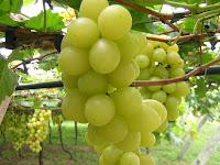 Beurre végétal de pépins de raisin