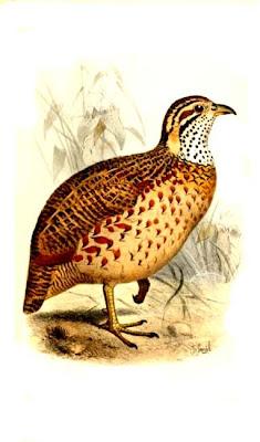 francolin etiope Scleroptila psilolaemus