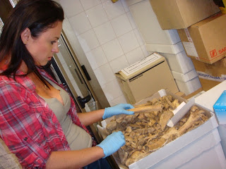 Dr. Hughes-Stamm examines bones found at a mass grave in Croatia.