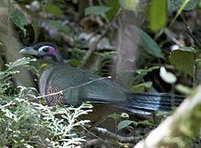 Tokhtor Sumatera (Carpococcyx viridis)
