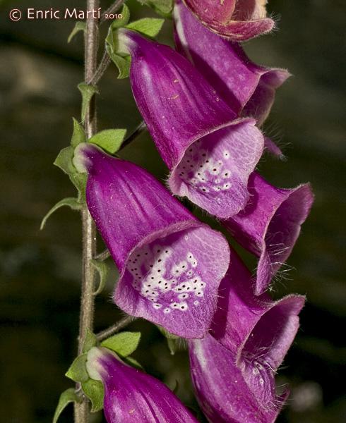 La flor de de azahar y sus propiedades medicinales
