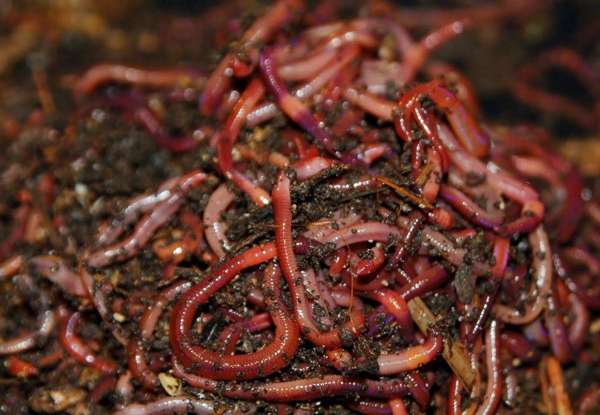 Si es posible sanar las lombrices por las hierbas