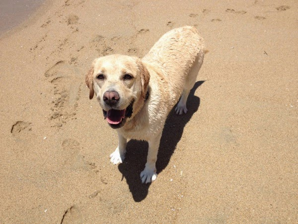 Happy Labrador Cooper Huntington Dog Beach