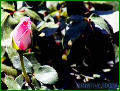 trandafir roz parcul lumea copiilor bucuresti
