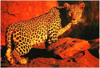 Леопард, Намибия