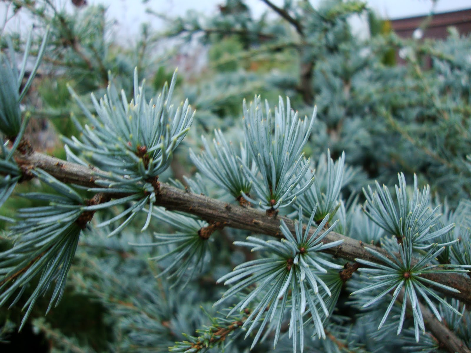danger garden: I'm Dreaming of a Blue (Atlas Cedar) Christmas…