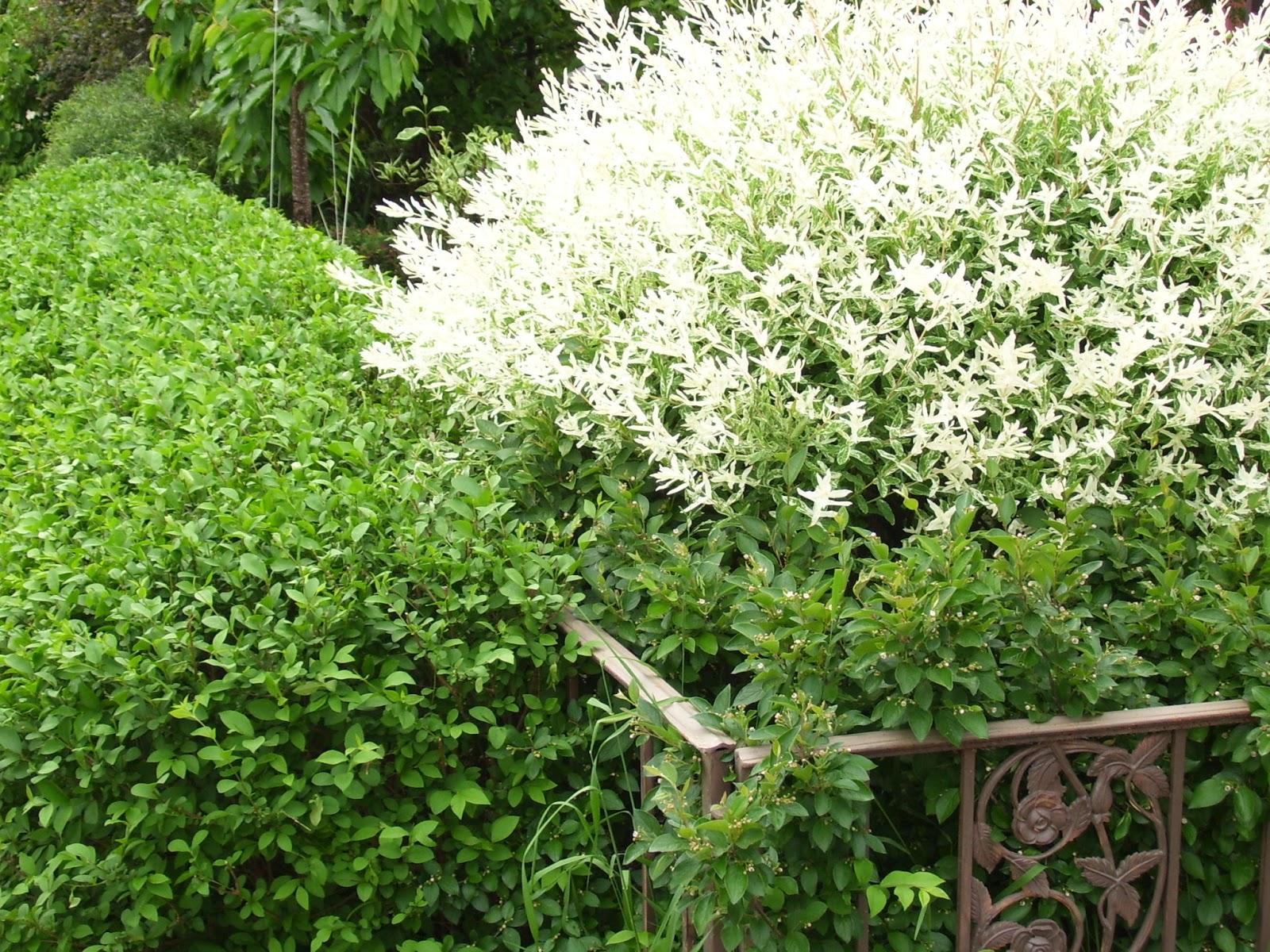 Dappled willow - grow and care (Salix integra) - YouTube