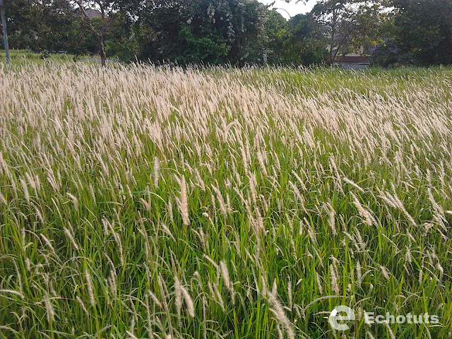 Manfaat dan Khasiat Tanaman Alang-Alang (Imperata Cylindrica (L.)Beauv.) - echotuts