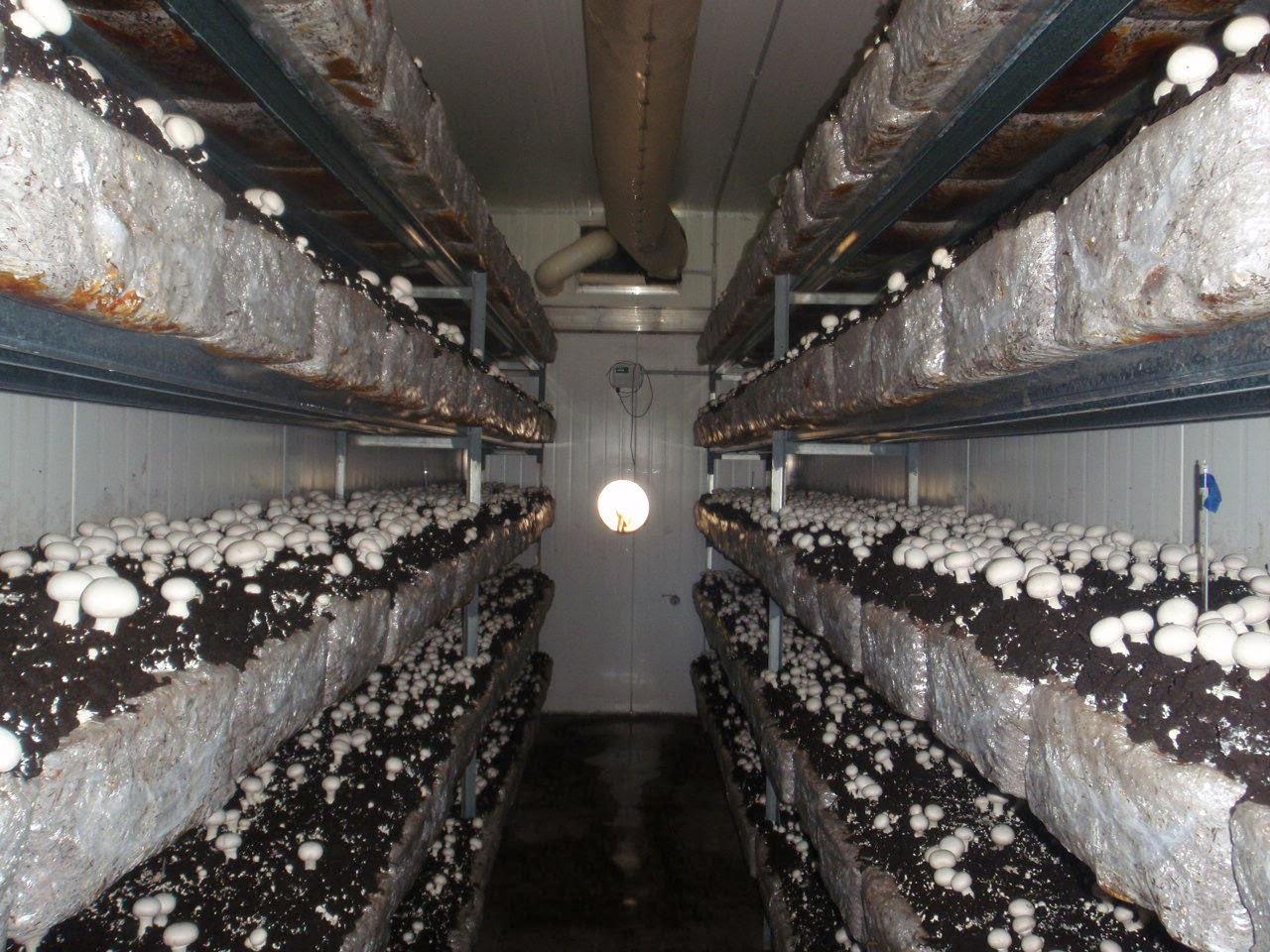 Технология выращивания шампиньонов и промышленного 80
