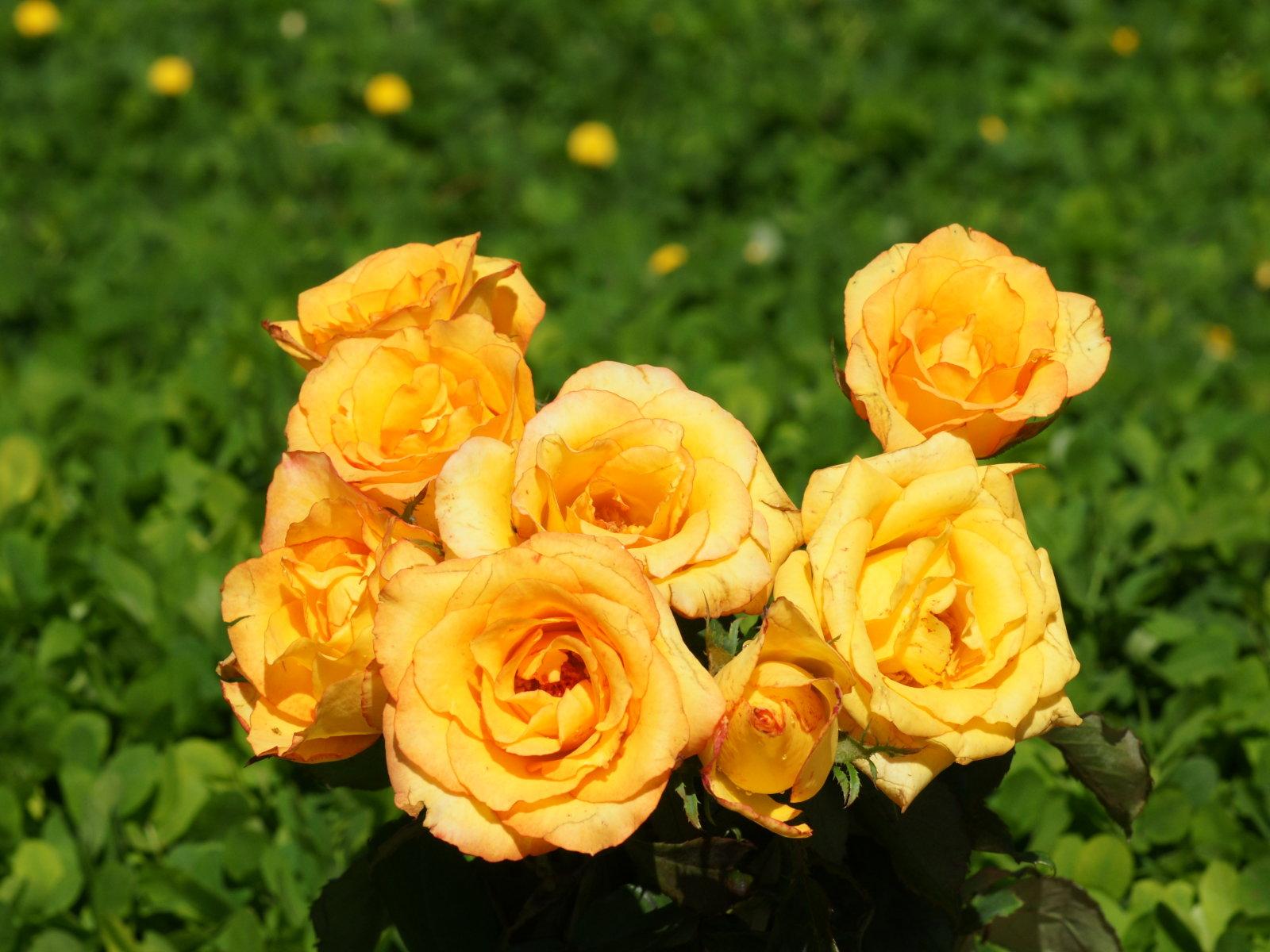 Rose Wallpaper Yellow Rose HD Wallpaper Download Free