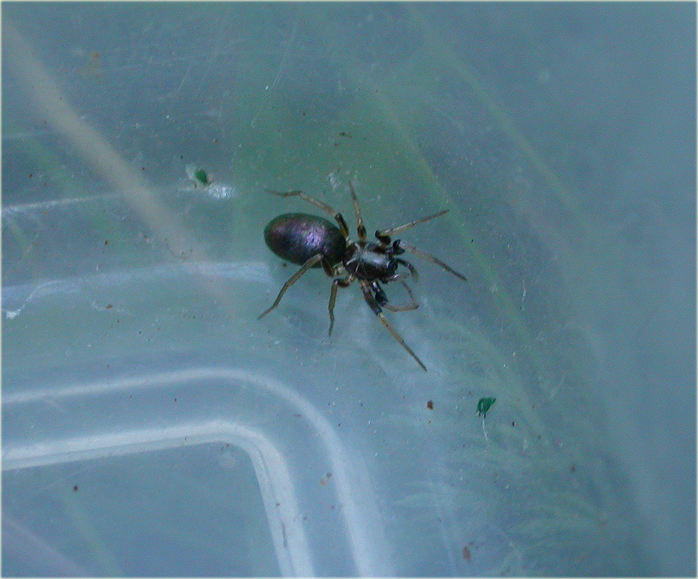 Arachnerds glossy ant spiders micaria sp for Extra mural cemetery brighton