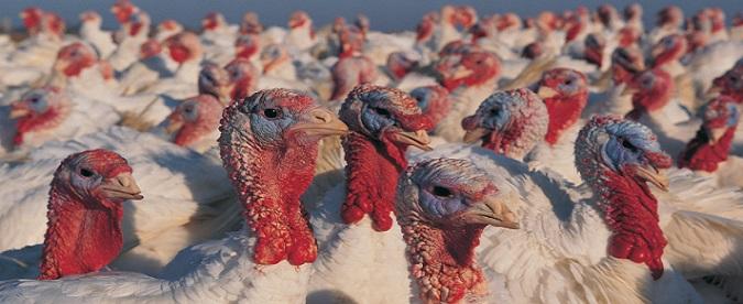 U.S. Farm Turkeys - Source: CDC.gov - https://web.archive.org/web/20151124141836/http://www.cdc.gov/flu/