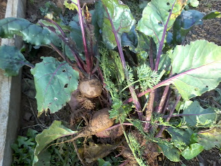 healthy beetroot dug out the ground