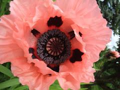 Pink Poppy 05/12