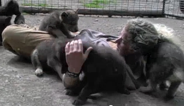 Wolf Pups Enjoying Life With Their Caretaker at The Alaska Zoo (Video)